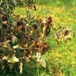 Antibiotics for Plant Disease Control