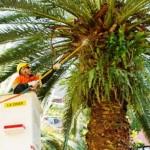 Man-on-cherrypicker-pruning-palm-trees4