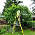 tree-pruning-lg